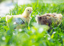Two chicken in the grass Royalty Free Stock Photos