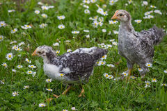 Two chicken in the green grass with white daisies Royalty Free Stock Photos