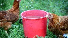 Two chicken near bucket of water in the yard. Two chicken near a bucket of water in the yard stock video