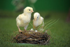 Two chicken and nest Stock Photo