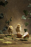 Two chicken on the table. Two chickens walk around the table there with egg shells Royalty Free Stock Image