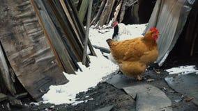 Two chicken walking around farm stock video