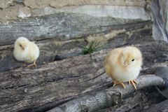 Two chicken yellow and black. Stock Images