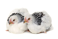 Two chickens. Chickens is standing and looking. Isolated on a white background stock photography