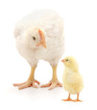Two chickens Stock Images