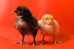 Two chickens Royalty Free Stock Photo