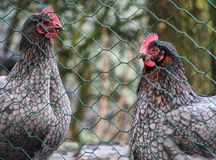 Two chickens. Behind a wire fence in a cage Stock Photography