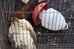 two chickens in cage Stock Photo