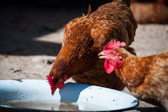 Two chickens drink water from the bowl royalty free stock images