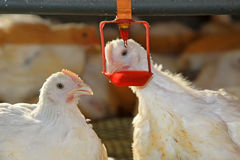 Two chickens are drinking water, in a chicken farm Royalty Free Stock Images