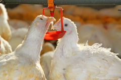 Two chickens are drinking water, in a chicken farm Royalty Free Stock Photo