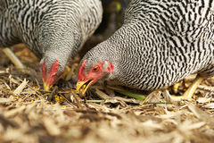 Two chickens eating grain Royalty Free Stock Photo