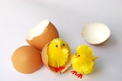 Two chickens with eggshells Stock Images