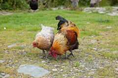 Two chickens Royalty Free Stock Images