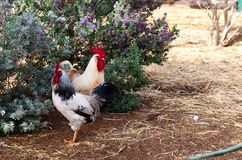 Two Chickens. In front a flowery bush royalty free stock photography