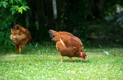 Two chickens pecking on the lawn. Two chickens pecking on the green lawn stock photos