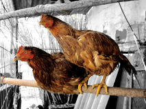 Two chickens on the pole. Looking at the camera Stock Photo