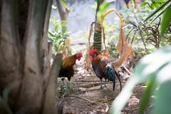 Two chickens standing together.Chicken from Laos. stock photos