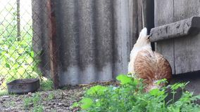 Two chickens walking around the yard. One of these rows paws the ground in search of food. Video shot close up on a Canon 70D stock footage