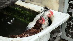 Two chickens in water stock video