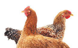 Two chickens. Two chickens on a white background Royalty Free Stock Photos