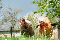 Two chickens in the yard. Stock Photos