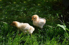 Two chicklings in the garden. Two chicklings are feeding in the garden Royalty Free Stock Image