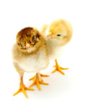 Two chicks Stock Photography