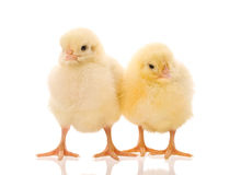 Two Chicks Royalty Free Stock Photo