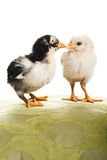 Two chicks. Stock Image
