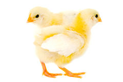 Two chicks Stock Images
