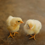 Two chicks Royalty Free Stock Images