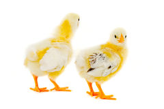 Two chicks Stock Image