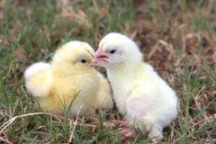 Two chicks. A closeup pf two feathered chicks Stock Photos