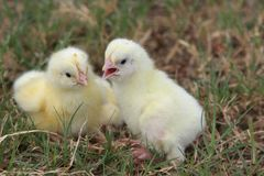 Two chicks Stock Photo