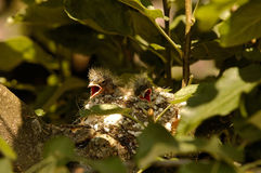 Two chicks of the chaffinch in the nest. Poland.Bory Tucholskie National Park in June.Two chicks of the chaffinch in the nest are waiting for parents with food Stock Photos