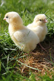 Two chicks close up portrait Royalty Free Stock Image