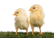 Two Chicks (8 days old) standing in grass Royalty Free Stock Photography