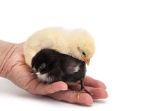 Two chicks on hand Stock Images