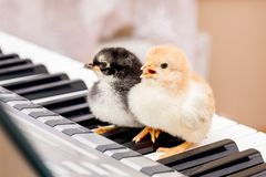 Two chicks with open beaks on the piano keys. Performing a song. With a duet stock images