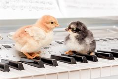 Two chicks on the piano keys. Performing a musical play with a d royalty free stock photo