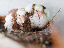 Two chicks pigeon Stock Image