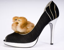 Two Chicks in a Womans High Heeld Pump Dress Shoe Royalty Free Stock Image