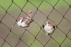 Two  Chicks sitting in cells metal fence Stock Image