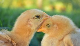 Two chicks sleeping stock photography