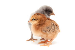 Two chicks standing next Stock Photo