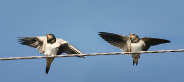 Two Chicks swallows sitting on the wires waiting for the parents Royalty Free Stock Images