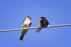 Two Chicks swallows on the wires. Waiting for the mother bird Royalty Free Stock Photo