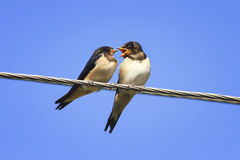 Two Chicks swallows on the wires. Waiting for the mother bird Royalty Free Stock Images