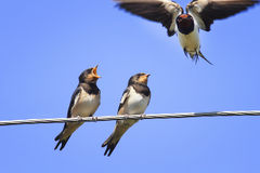 Two Chicks swallows on the wires. Waiting for the mother bird Stock Photos